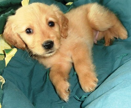 Golden Retriever Males Females English Golden Retriever Puppies For