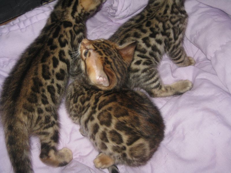 Ocicat, Bengal Kittens, cats, for Sale, Price
