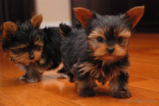 Yorkshire Terrier Extremely Cute Teacup Yorkie Puppies For Free