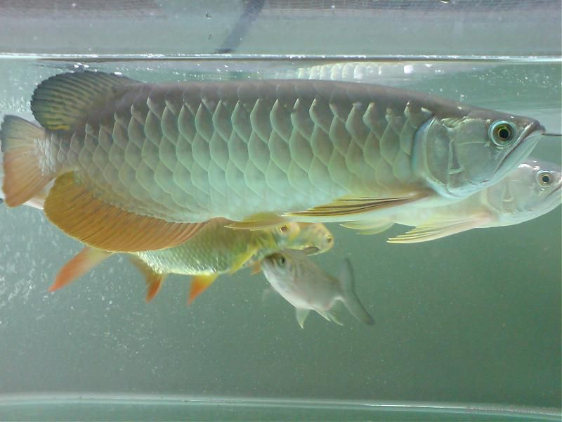 Super red arowana 24k gold fish buy or for sale price for Red arowana fish for sale in usa