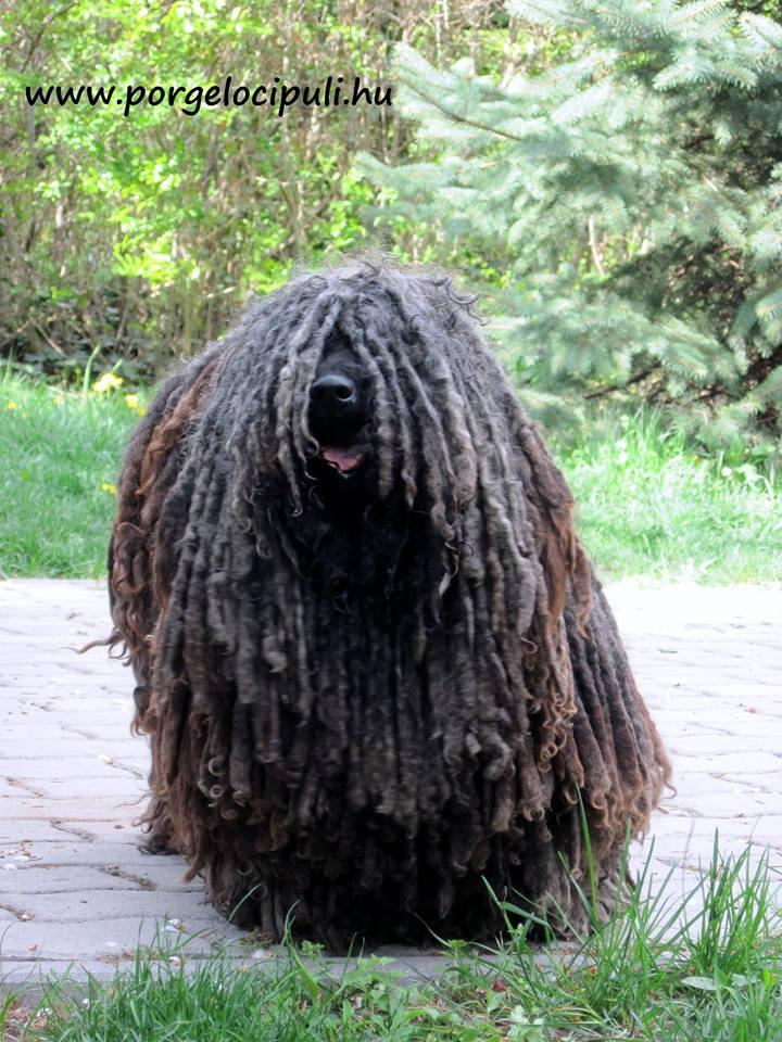 Black Male Puli Puppies For Sale Dogs For Sale Price