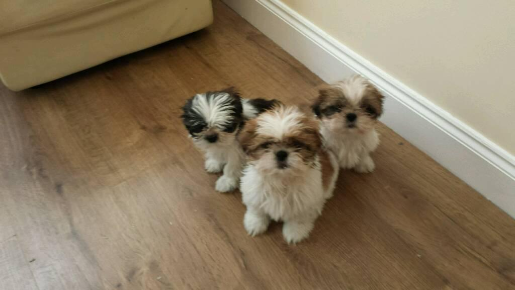 Shih Tzu Beautiful Imperial Shih Tzu Puppies For Dogs For Sale Price