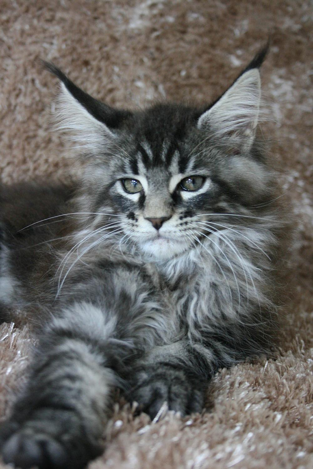 Maine Coon Kitten Picture