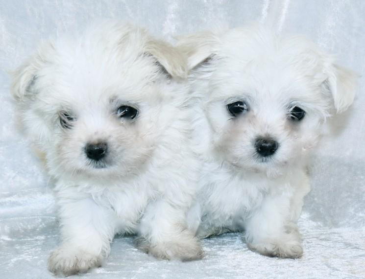 Maltese Pedigree Boy And Girl Maltese Puppies Dogs For Sale Price