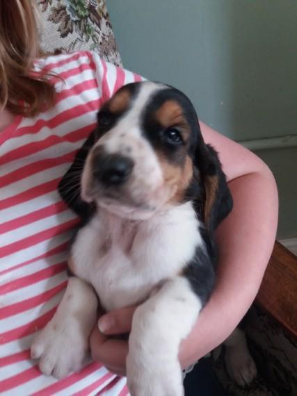 Basset Hound Basset Hound Puppies For Adoption Dogs For Sale Price