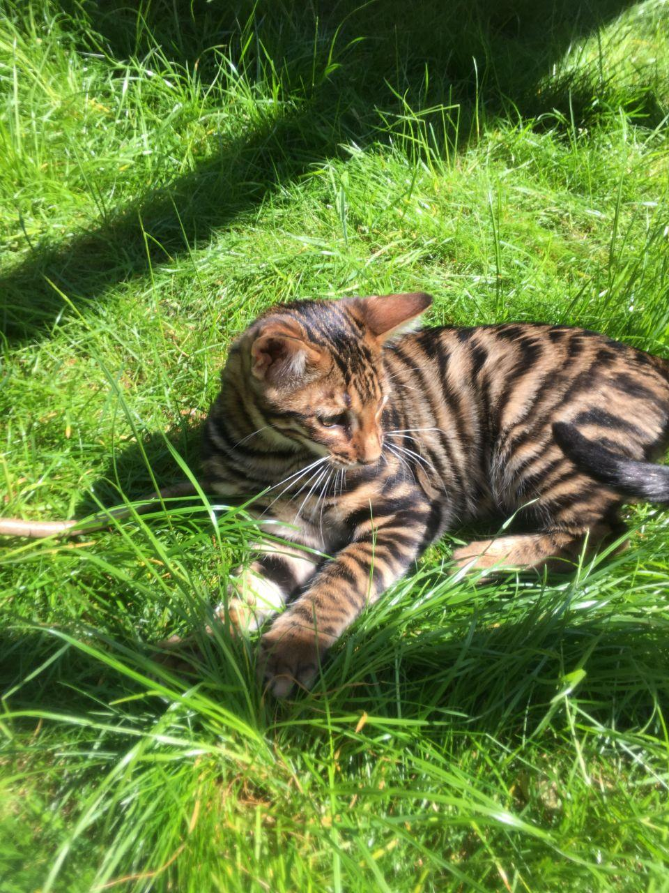 Sphynx, Rosetted Toyger Kittens Available, cats, for Sale, Price