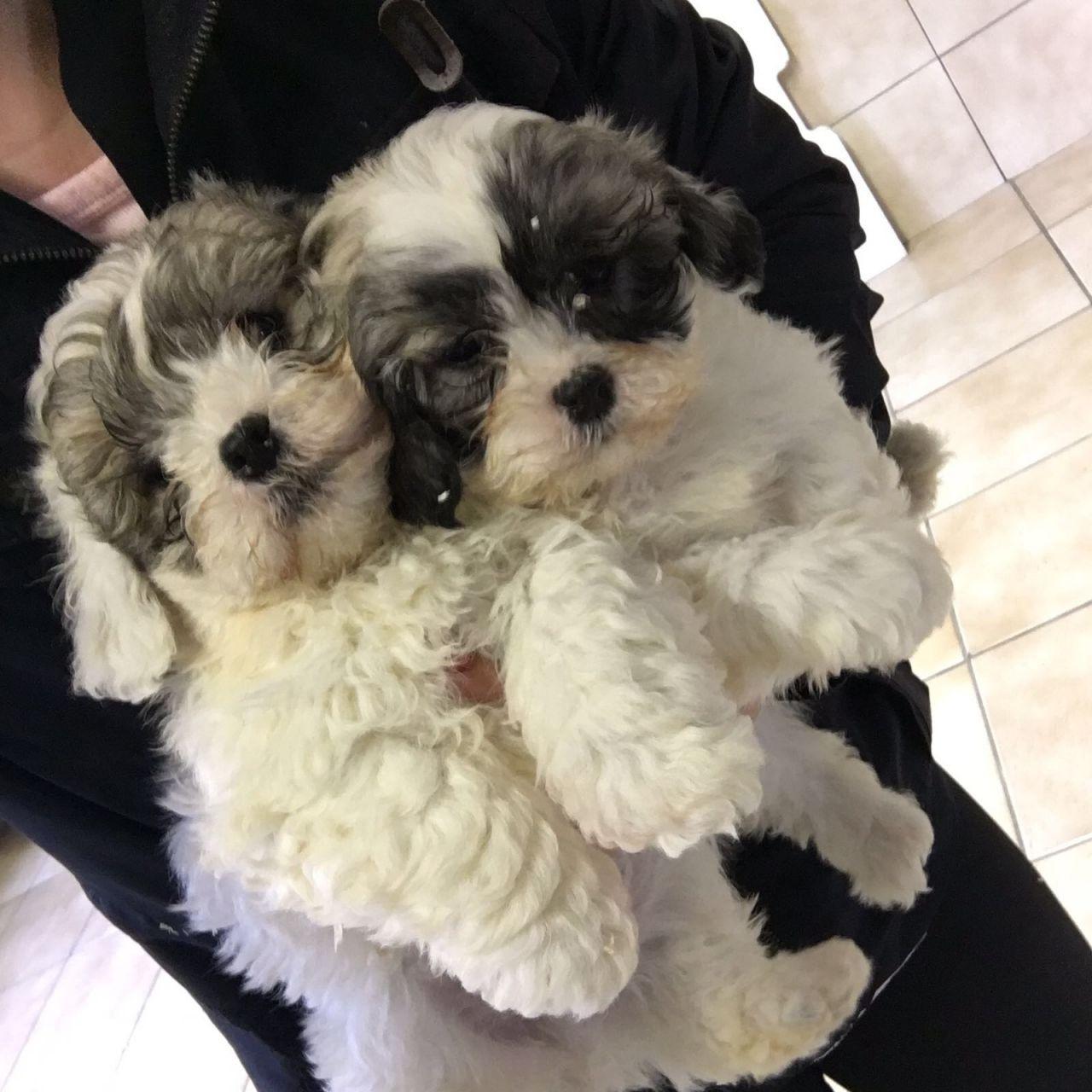 Shih Tzu Zuchon Pups For Sale Shih Tzu X Bichon F Dogs For Sale