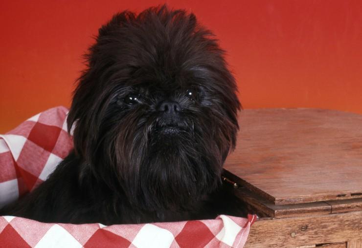 Affenpinscher Affenpinscher Puppy For Sale Dogs For Sale Price