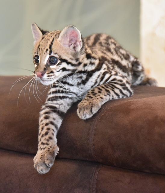 Exotic, Ocelot Leopardus Pardalis, Cats, For Sale, Price