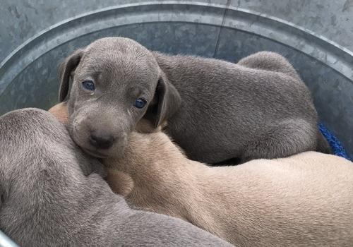 Pet Breed Weimaraner 700