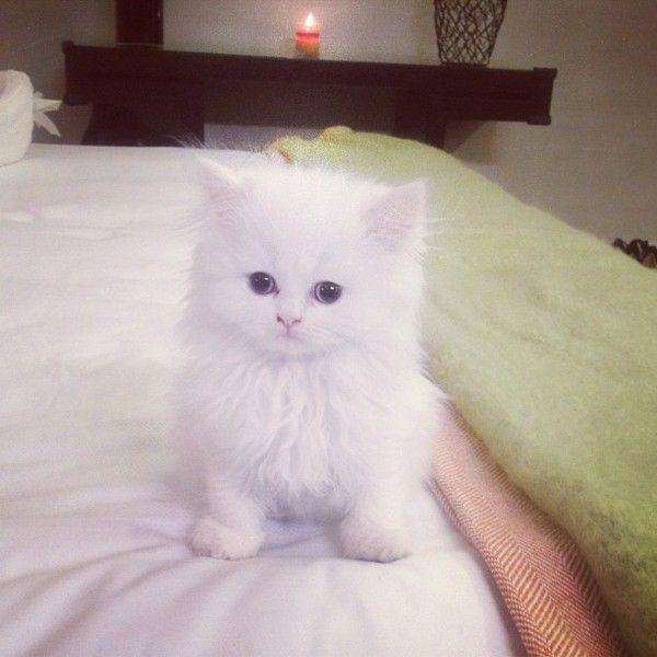 Gorgeous teacup Persian kittens. 720.538, cats, Buy or For Sale, price