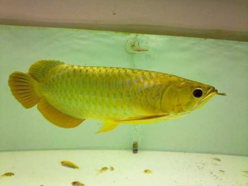 Golden arowana blue based for sale 760 fish buy or for for Red arowana fish for sale in usa