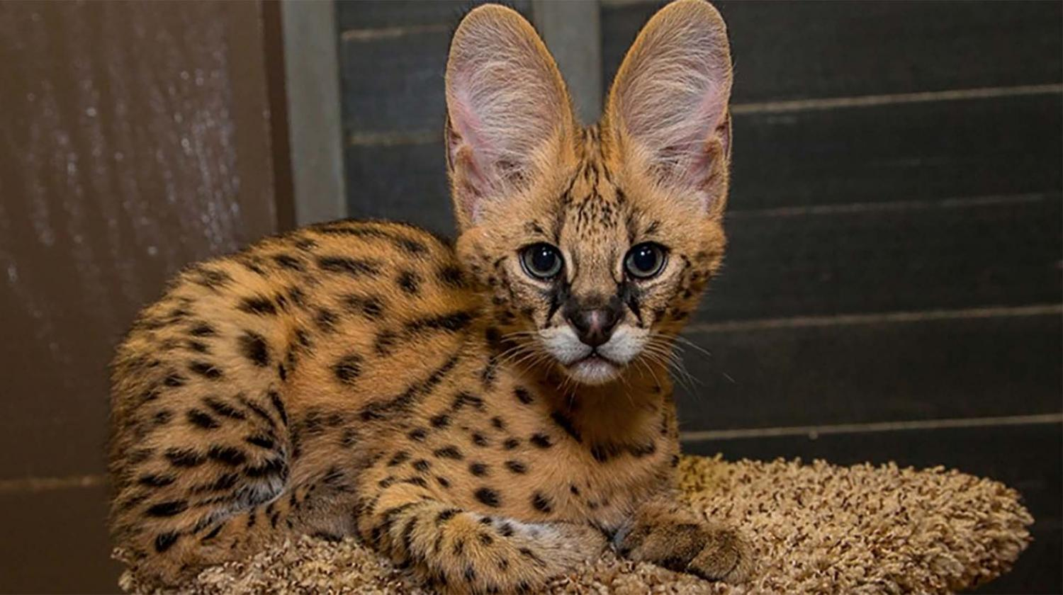 Serval kittens for sale cats Buy or For Sale price