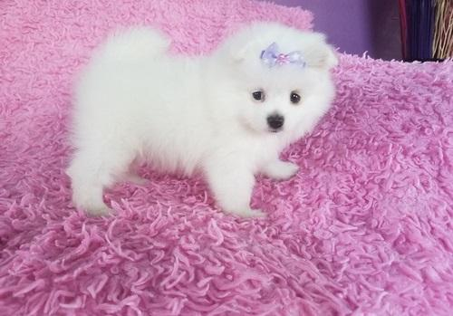 Pomeranian, Beautiful Pomeranian puppies Available, dogs, for Sale