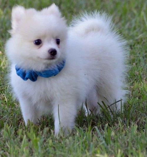 Pomeranian Teddy Bear Face Pomeranians Dogs For Sale Price