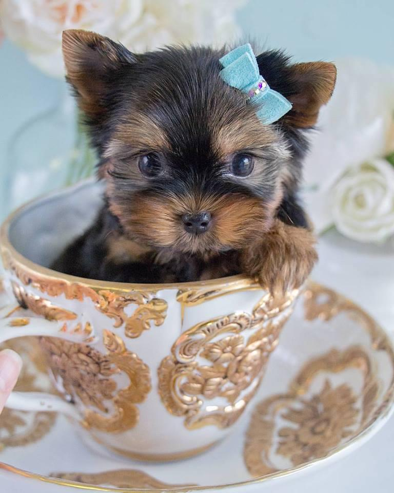 Yorkshire Terrier Healthy Tea Cup Yorkie Puppies For Sale Male And