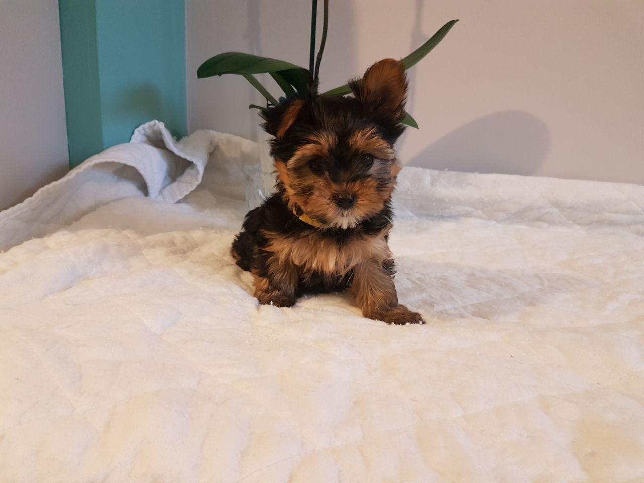Yorkshire Terrier, 1 2 LBS TCUP YORKIE PUPPIES GET TO 4 5