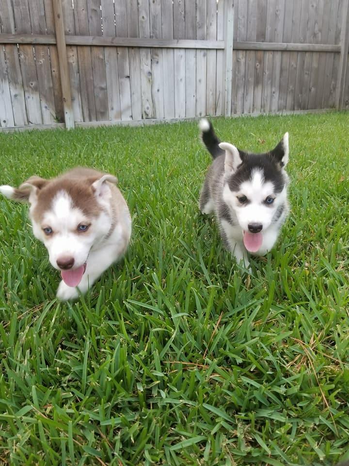 Siberian Husky Two Cute Siberian Husky Puppies For Adoption Dogs