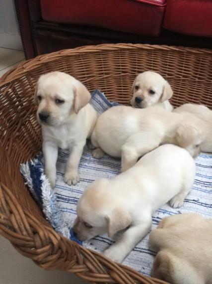 Labrador Retriever Labrador Retriever Puppies Dogs For Sale Price