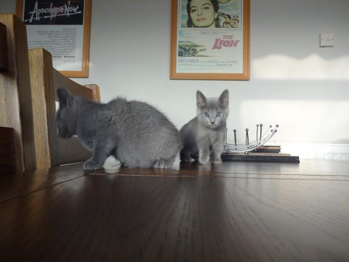 Blue Kittens For Sale : Russian blue russian blue kittens cats for sale price