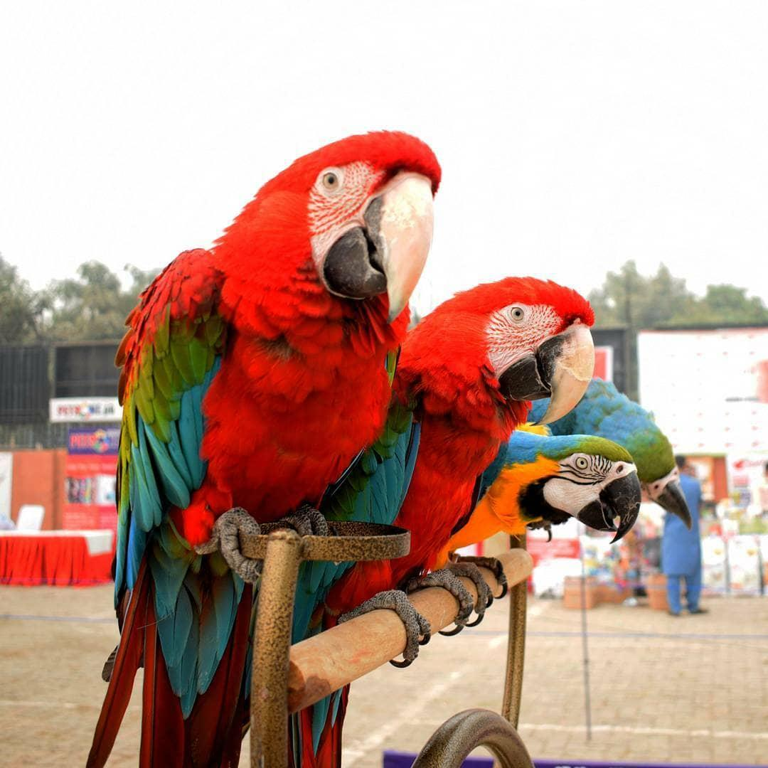 Scarlet Male and Female Macaw birds, birds, for Sale, Price