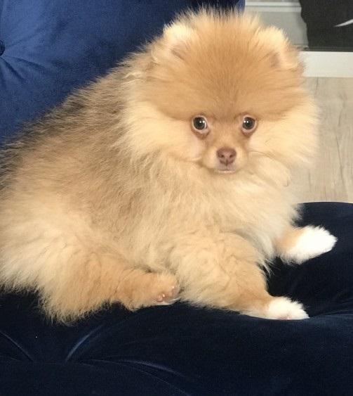 Pomeranian Toy Pomeranian Pups Needs A Home Dogs For Sale Price