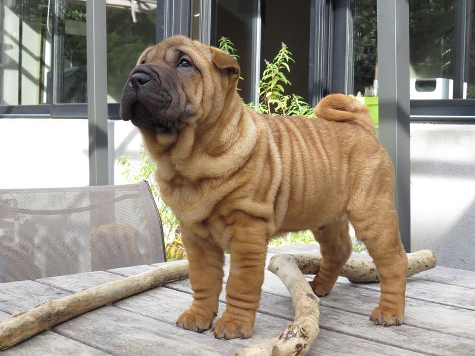 Miniature Shar Pei Purebred Chinese Shar Pei Puppies For Sale Dogs
