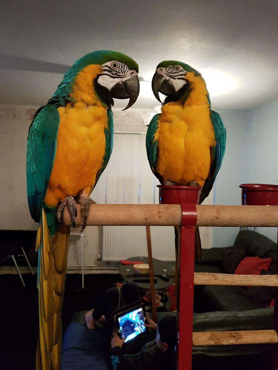 Breeding Pair Of Macaws, birds, for Sale, Price