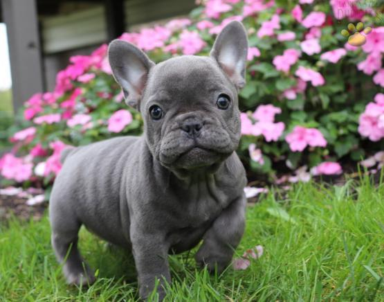 French Bulldog, Blue French Bulldog Puppies Available, dogs