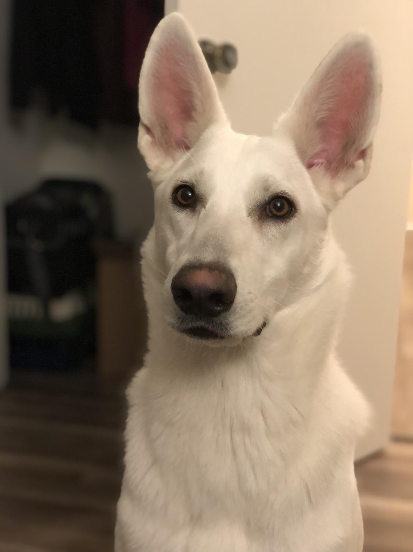 German Shepherd Dog, 1 year old WHITE GERMAN SHEPHERD DOG for sale