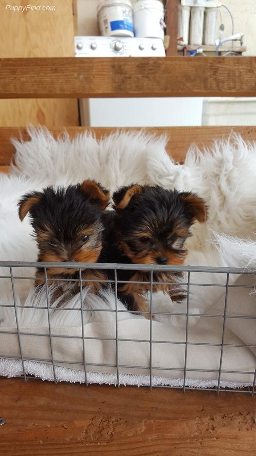 Yorkshire Terrier We Have Yorkie Puppies Ready To Go They Have