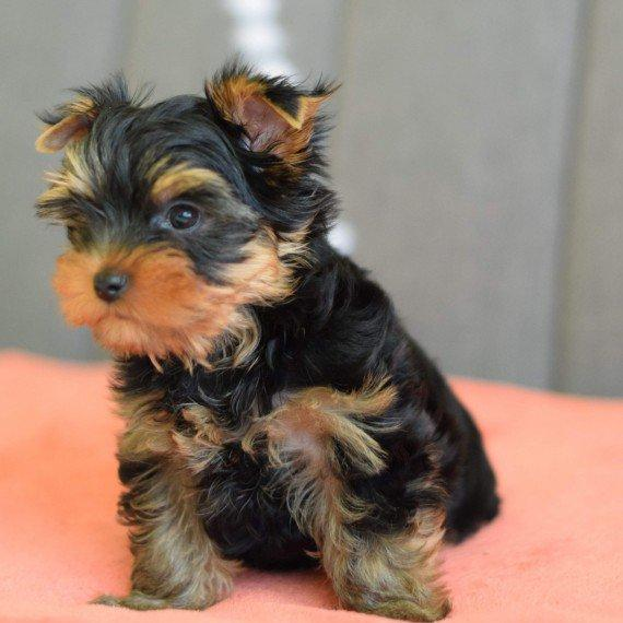 Yorkshire Terrier Genuine Teacup Yorkshire Terrier Puppies For Sale