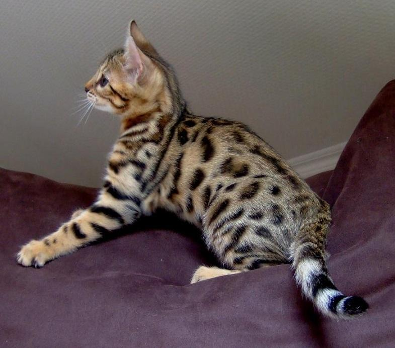Bengal, Bengal kittens Available, cats, for Sale, Price