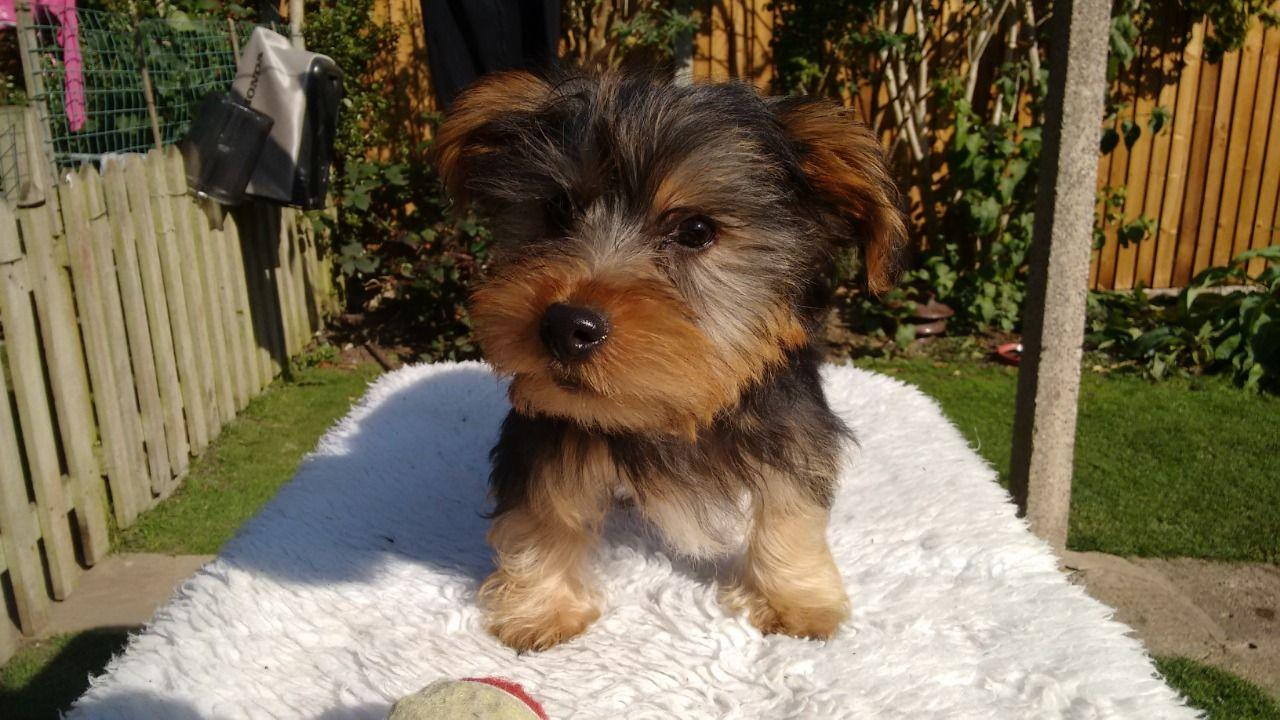 Gorgeous Yorkie Puppies For Sale, dogs, for Sale, Price