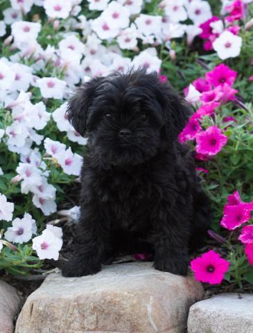Affenpinscher Affenpinscher Puppies For Sale Dogs For Sale Price