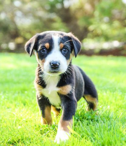Greater Swiss Mountain Dog Greater Swiss Mountain Puppies