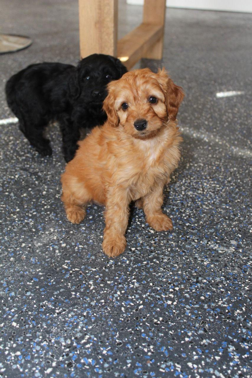 Stunning F1 Cockapoo Puppies, Dogs, for Sale, Price