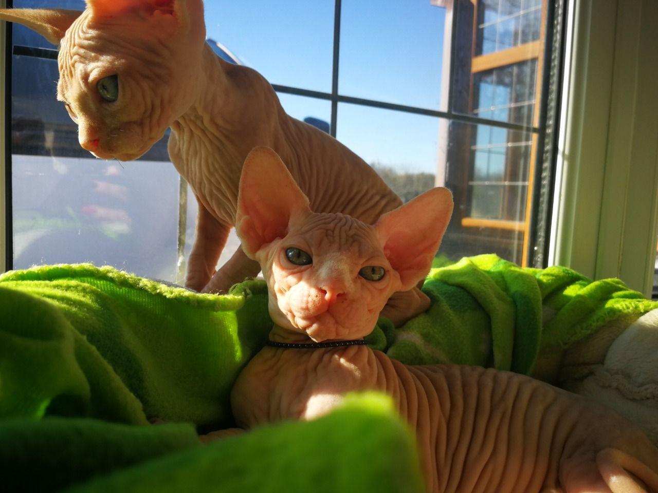 Bloodline Champion Sphynx Kitten, cats, for Sale, Price