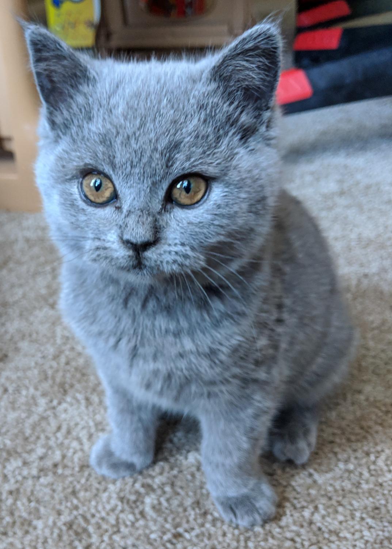 British Shorthair, Blue Female Kitten (8 weeks) British