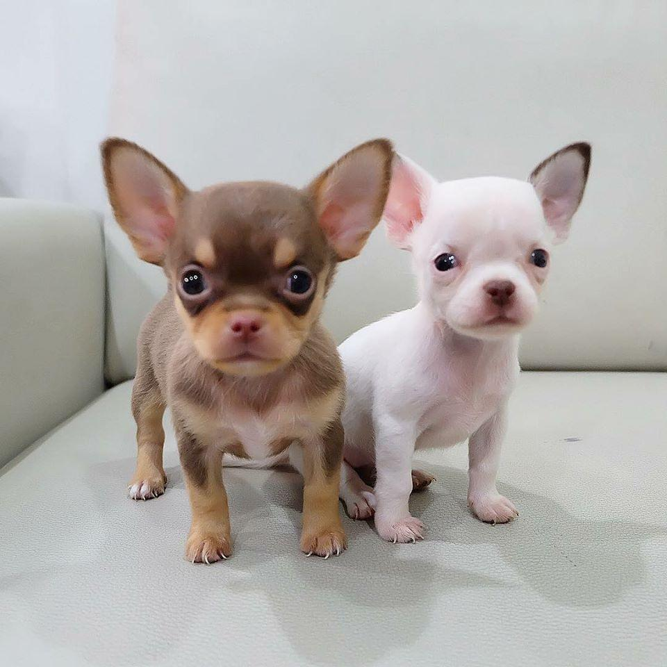 Chihuahua Teacup Puppies For