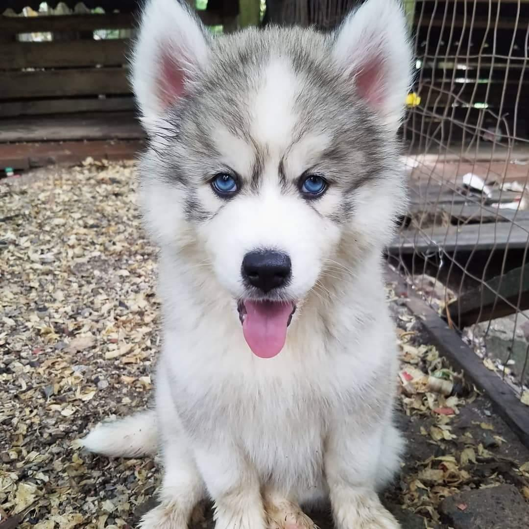 Siberian Husky Beautiful Blue Eyes Siberian Husky Puppy For Sale Akc Registered Dogs For Sale Price