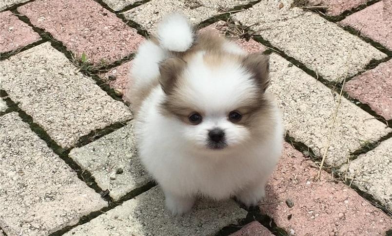Pomeranian, TeaCup Pomeranian For Sale, dogs, for Sale, Price