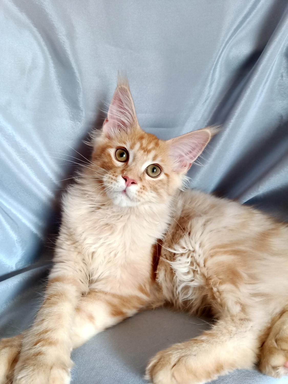 Maine Coon, Котенок Мейн Кун, Cats, for Sale, Price