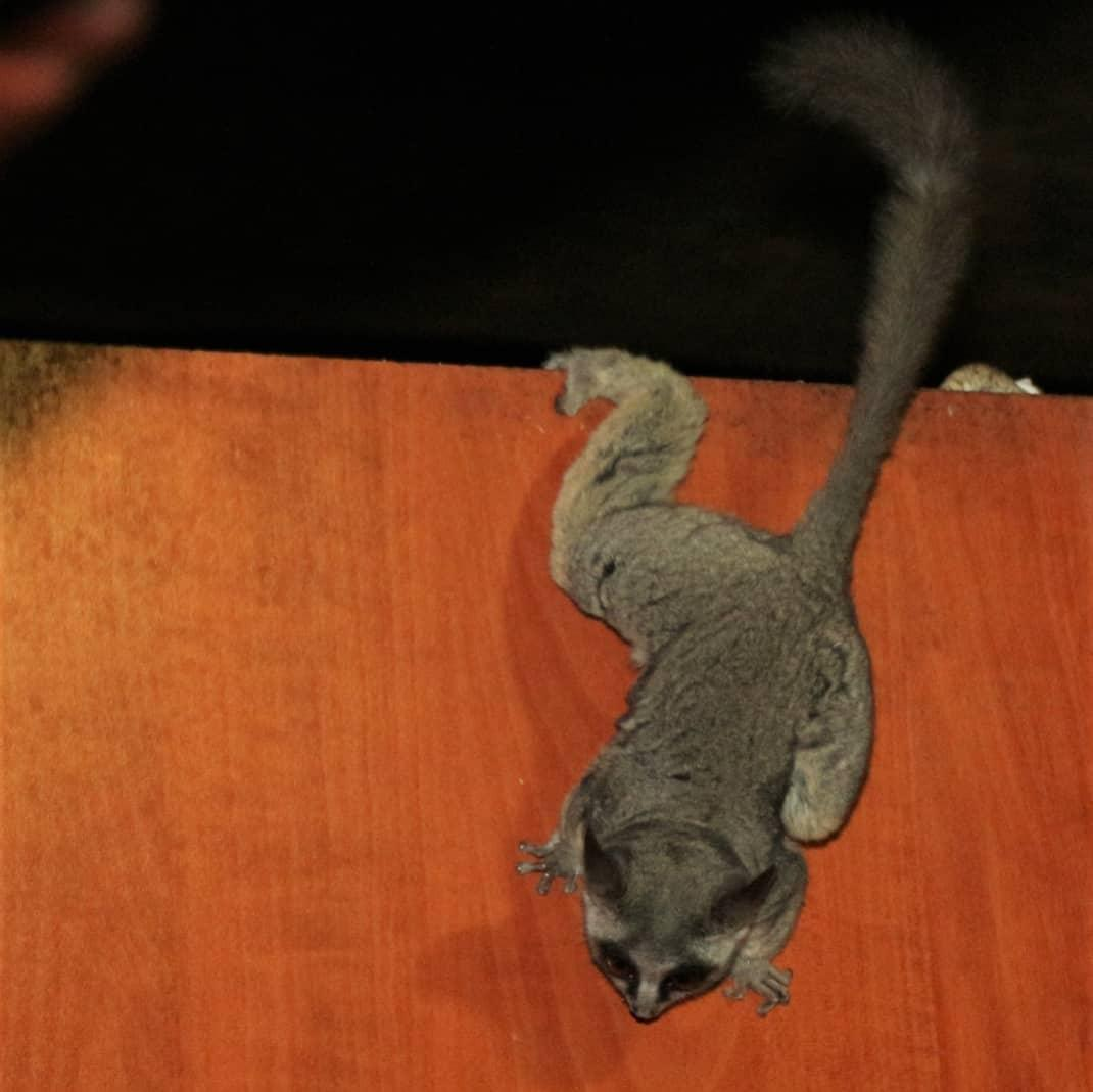 BUSH BABIES FOR HOME PET, Exotic animals, for Sale, Price