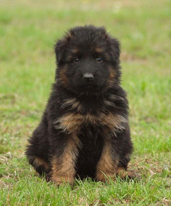 German Shepherd Puppy For Sale Price In Scotland UK