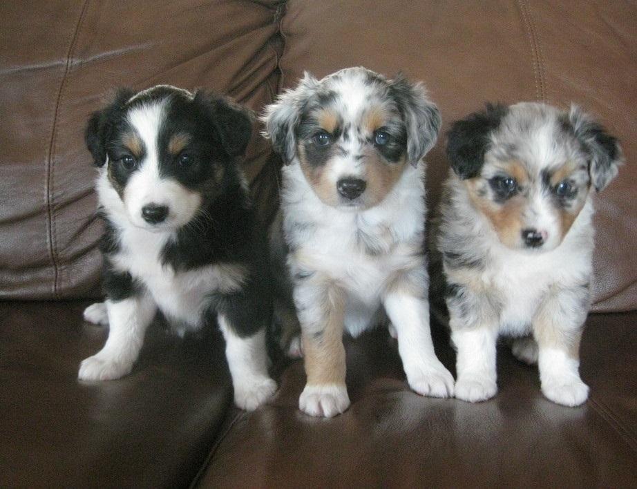Australian Shepherd, Australian shepherd puppies for sale ...