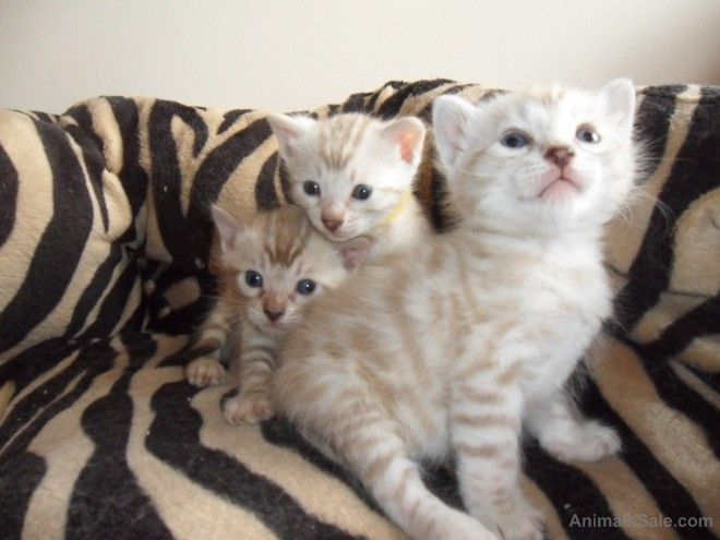 Bengal, Adorable Snow And Brown Bengal Kittens!, cats, for