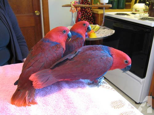 Blue and Gold Macaws Catalina Macaws Scarlet Macaws, birds, for Sale