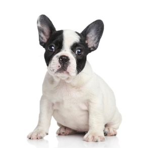 Puppies French Bulldog For Sale In Michigan With Price