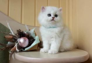 Stunning Persian Kittens Ready For Sale Now